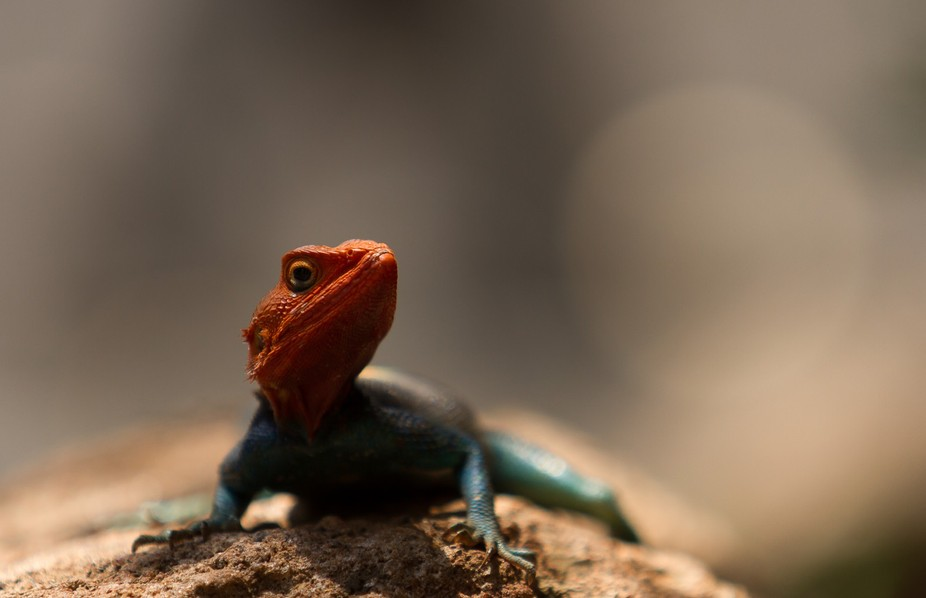 This Red headed Agama lizard was sunbathing on a rock next to a path that i was walking along in ...