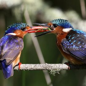 Malachite Kingfisher feeding young with a grasshopper