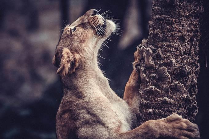 The Lioness by K_Srinivas - Wildlife Photo Contest 2017