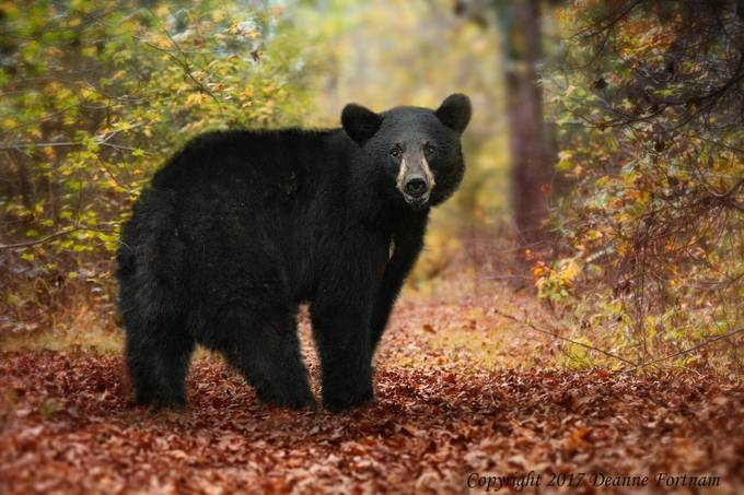 Black Bear by deannefortnam - Bears Photo Contest