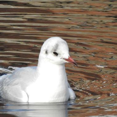 A Bonnie wee Gull