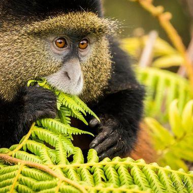 Golden Monkey 2