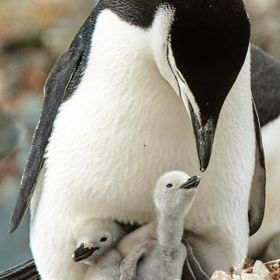 A Chinstrap Penguin cares for its chicks on a rookery above Orne Harbor along the Antarctic Peninsula.