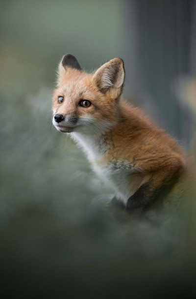 Fox Pup Emerging from its Den