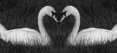 two swans kissing2-002