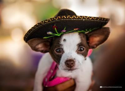 Ay_Chihuahua