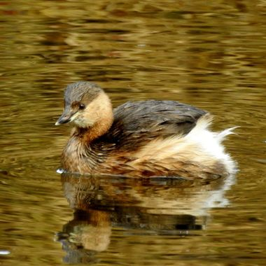 A wee River Grebe