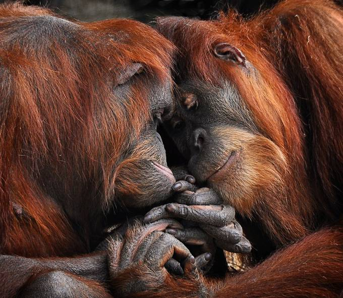 Friends by peterh - Monkeys And Apes Photo Contest