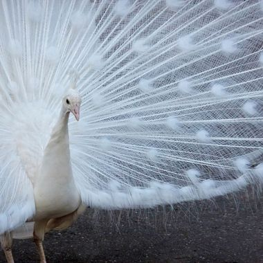 Although he lacks the colour of the peacocks we're so familiar with, this lovely bird of snow and lace is just as captivating.