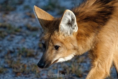 Portrait of a maned wolf