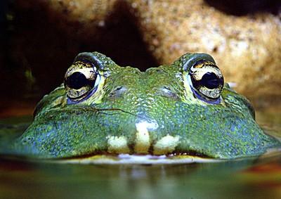 Frog eyed
