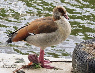 Egyptian Goose standing at edge of Amsterdam canal next to tire roost - Photo by Robson Smith