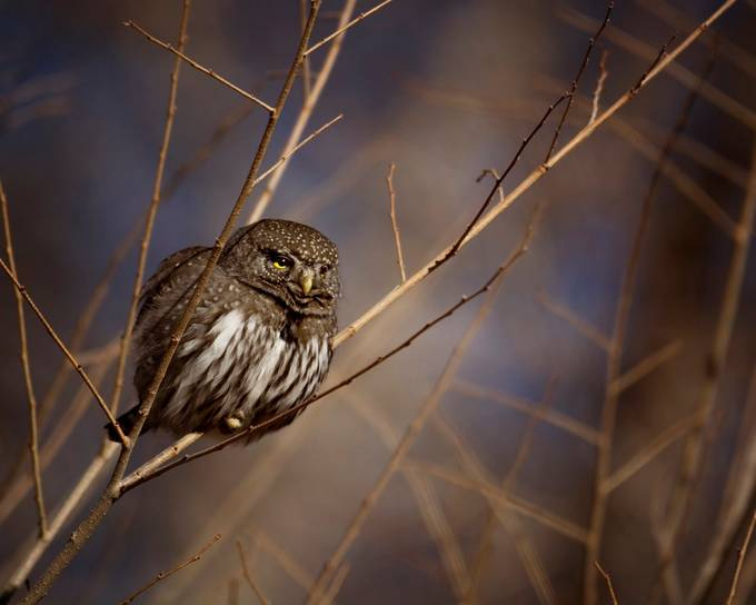 Owl by ericakinsella - Rule Of Thirds Photo Contest v3