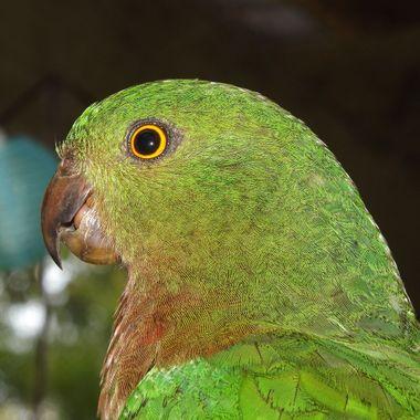 King parrot-female