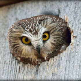 This mother Saw Whet Owl was on alert watching me very closely, making sure I did not get to close to her nesting box as she sat with her little ...