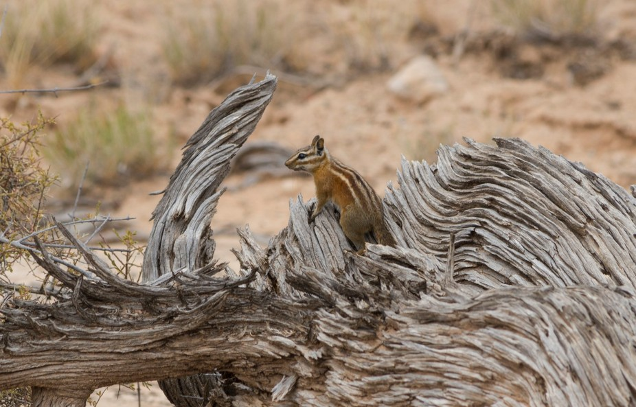 A striped ground squirrel comes up from his nest to have a peek.