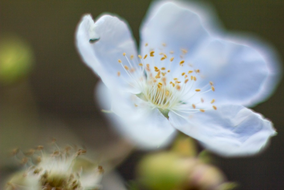 macro shot of a white flower in the Colorado Rockies