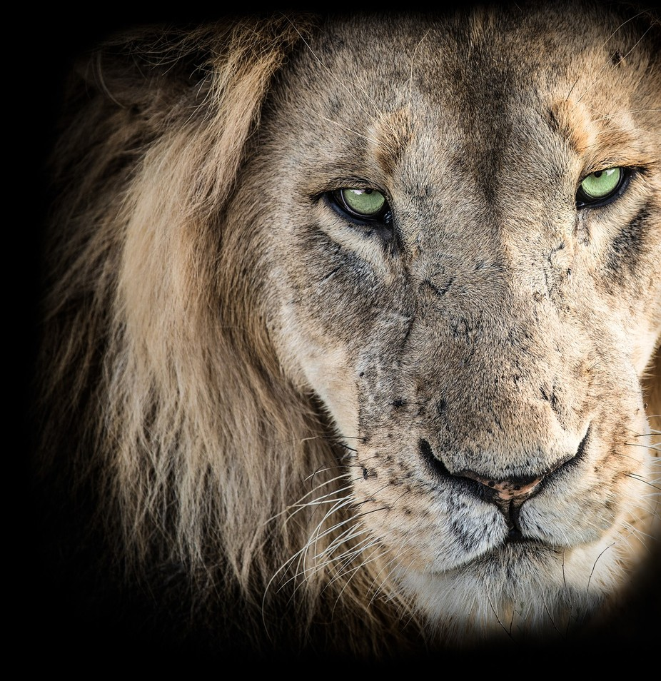 Lion Portrait by WorldPix - Green Eyes Photo Contest
