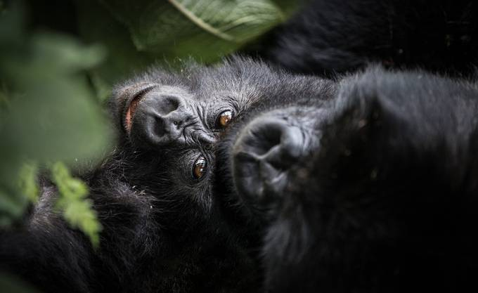 Gorilla Mother holding Baby by WorldPix - Monkeys And Apes Photo Contest