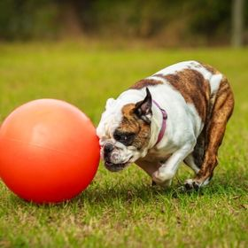 Bella, an English Bulldog, loves her ball. She head-butts it and chases it around the yard.