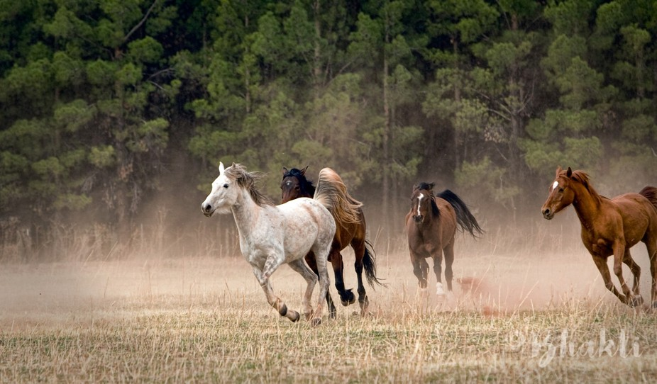 Pastured a white pony with this herd. Arizona.