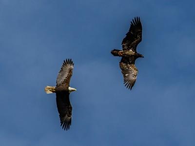 Juvenile and Adult Bald Eagle