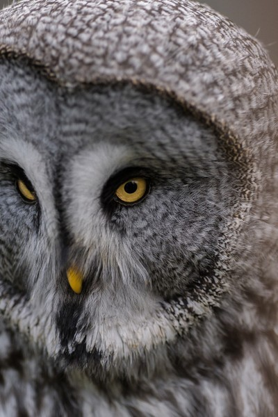 owl portrait4 (1 of 1)