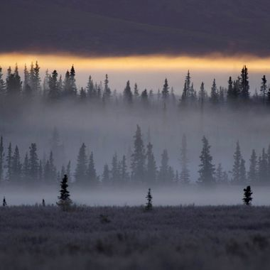 Evergreens stood guard as the first sun rays edged a fog bank near Teklanika in Denali National Park, Alaska