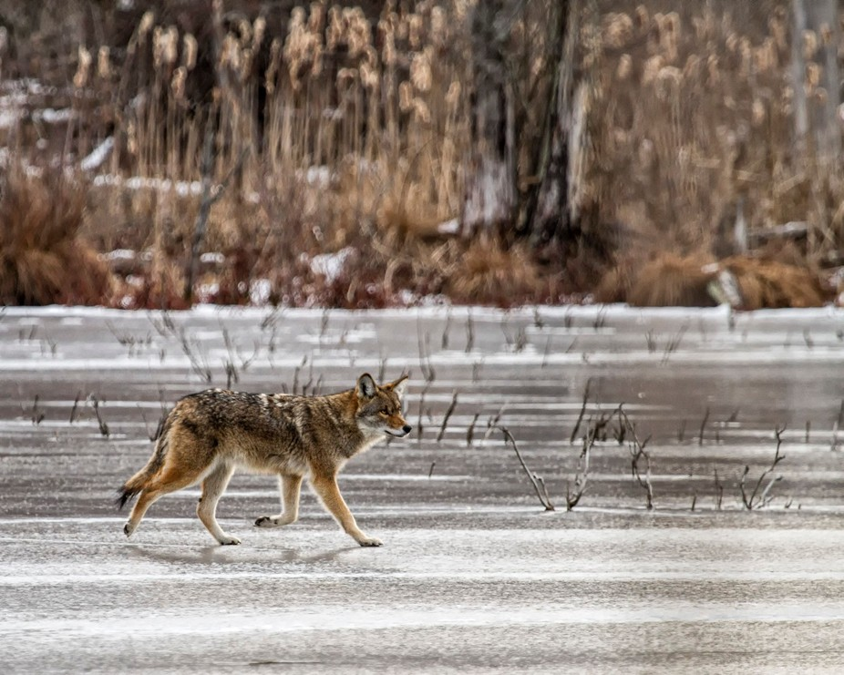 Found this handsome coyote trolling the frozen swamp looking for a meal.