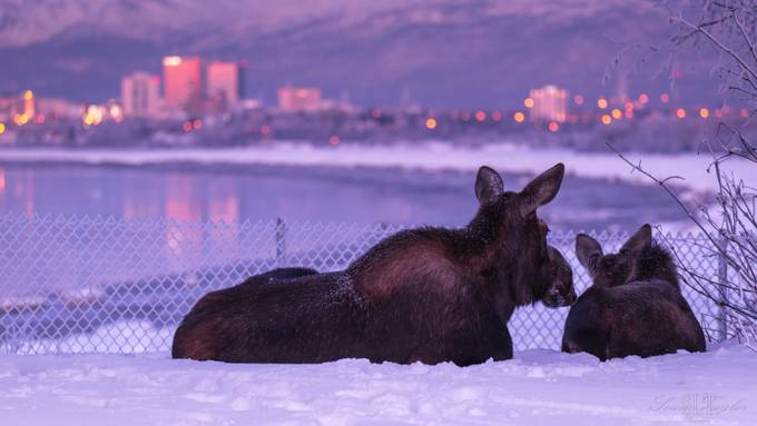 Moose Enjoying Sunset at Earthquake Park by seantaylor - Opposites Photo Contest