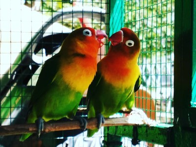 Lovebirds mirror our lives