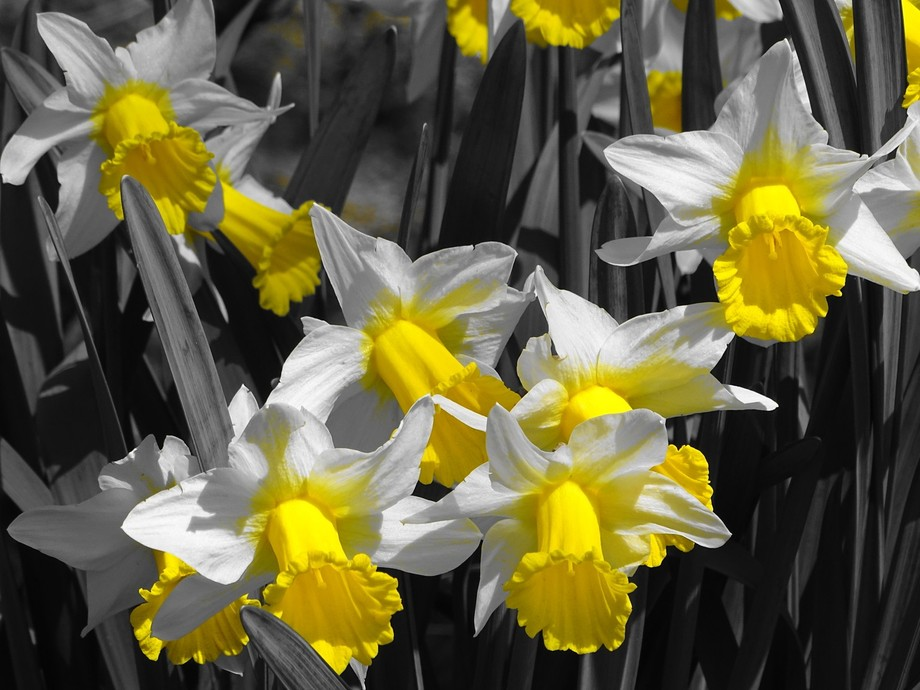 Daffodils in bloom in the forest of Westenschouwen, Zeeland,Netherlands. Playing with my new camera, checking what the different chromatic settings give for results. Setting to B&W showing only yellow as colour.