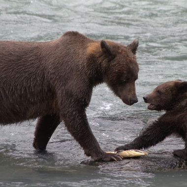 A sow and her two cubs were feeding on salmon near Haines, Alaska, fattening up for hibernation. When the sow landed a salmon, one of her cubs tried to claim it.