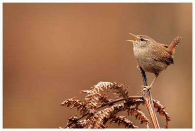 UK Wildlife - Wren