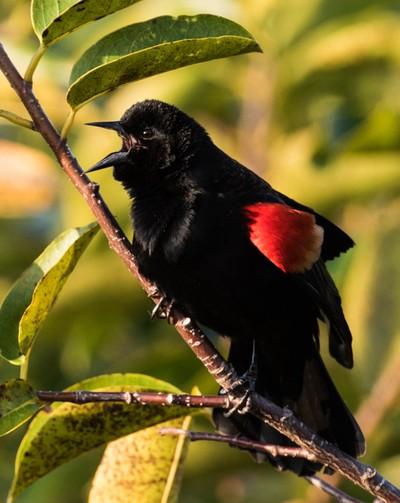 singing red wing bird