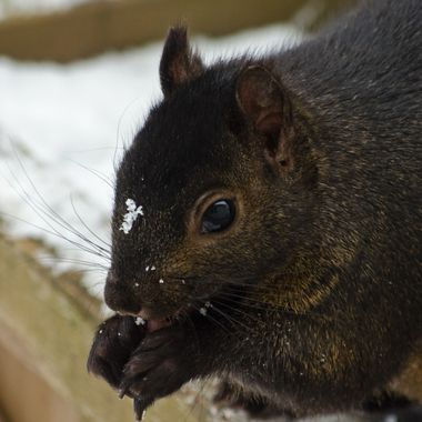 A close-up of a black squirrel eating peanuts on a winter day.