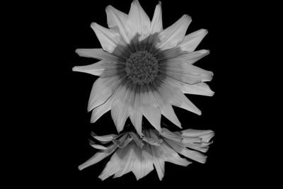 Flower in B&W