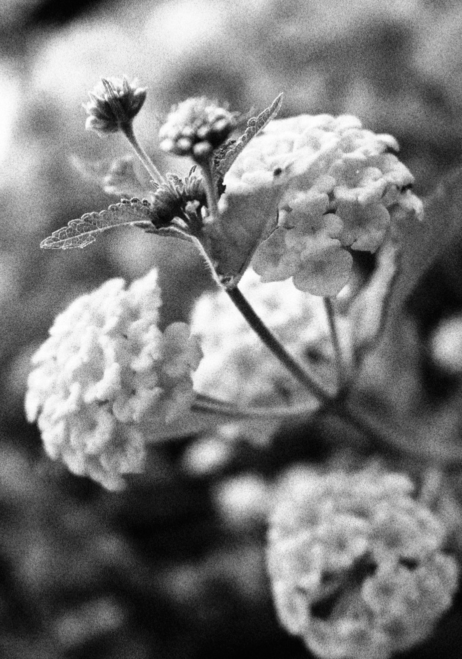 A black and white photo of one of the many flowers that I love. God's simple pleasures are the best