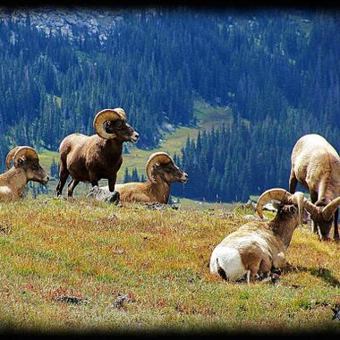 Big Horn Sheep taken in the Rocky Mountains NP in Colorado.