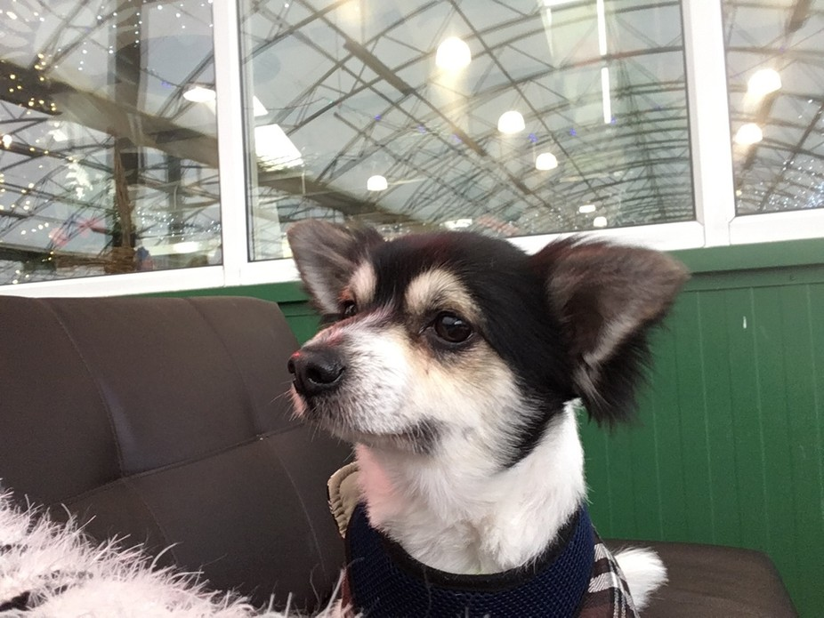 He is a papihuahua, a cross between a papillion and a chihuahua and is about 5.5 years old