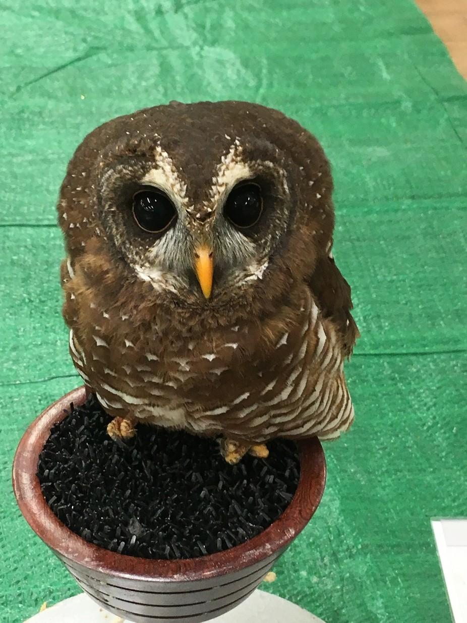 Kizzi, African Wood Owl
