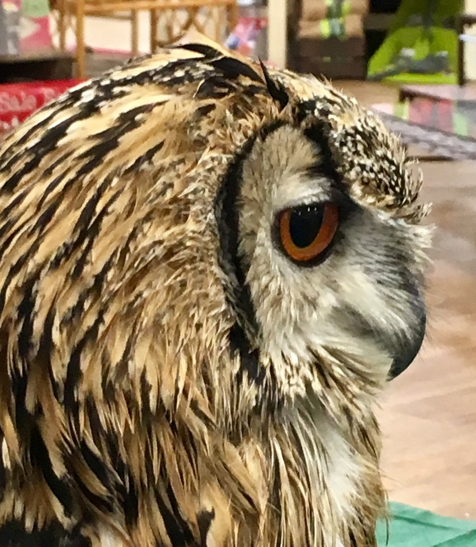 Woody, Indian Eagle Owl