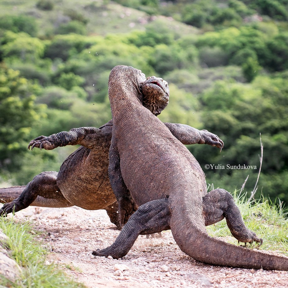 Big fight! by Julia-Moon - Reptiles Photo Contest