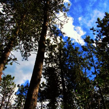 Trees deep in the forest of Custer State Park in South Dakota.