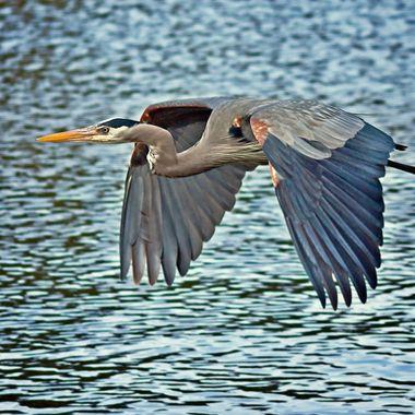Blue Heron_04