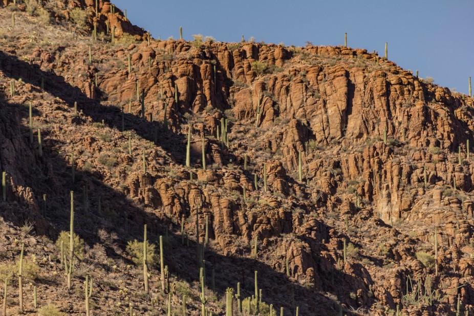 A mountainside full of Saguaro cacti