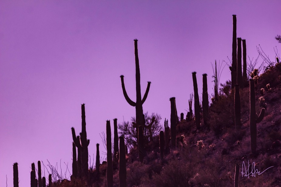 Silhouettes of giant Saguaro cacti front the purple sunset sky.