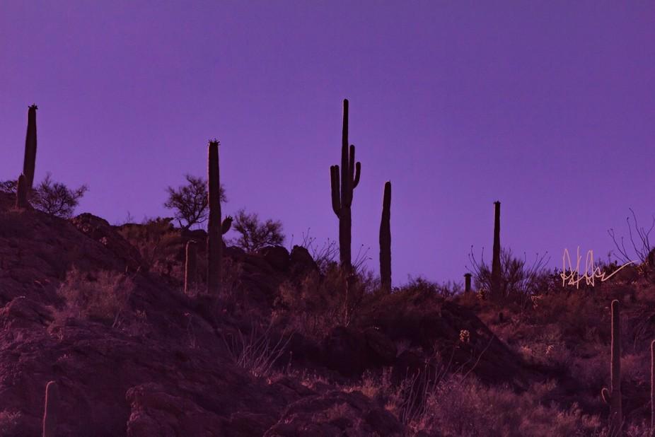 The magenta sky back the giant saguaro cactus on a ridge.