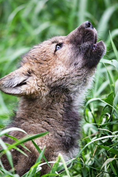 """""""Something to Howl About""""  This little cutie was practicing howling like the big boys."""