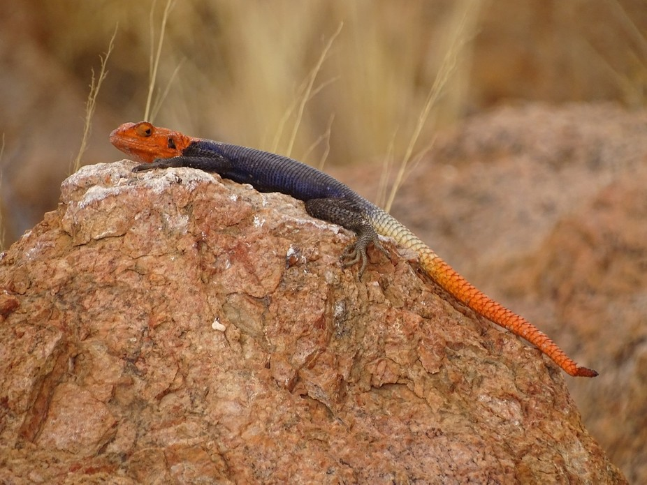 Came across this lizard whilst on holiday at a camp site in Namibia.